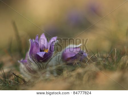Spring flower   Pasqueflower- Pulsatilla grandis