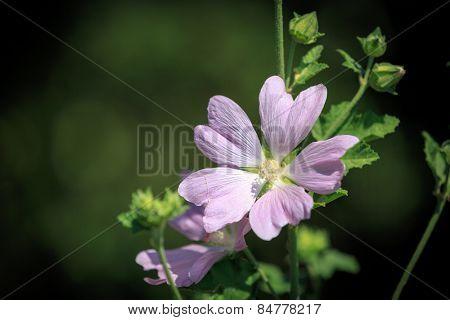 Nice mallow flower