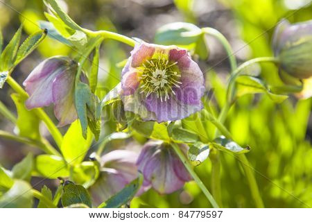 Close up of back lit pink Hellebore flowers with shallow depth of field. Also known as Christmas rose and Lenten rose.