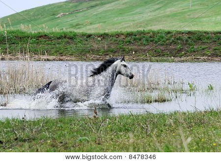 Gray Horse Running In Water