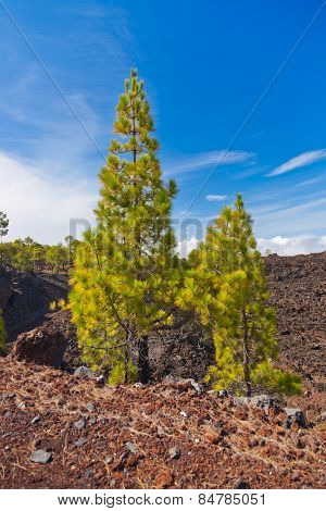 Forest near volcano Teide in Tenerife island - Canary Spain