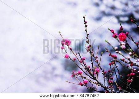 Pink plum blossom in early spring. shallow depth of field, and intentionally shot and processed in surreal impressional tone.