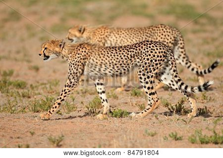 Two stalking cheetahs (Acinonyx jubatus), Kalahari desert, South Africa