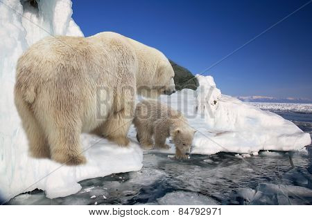 Polar White She-bear With A Bear Cub To Stand On Ice