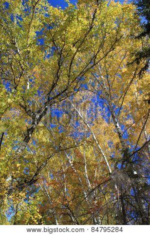 Autumn. Gold Birch Tops Against Blue Sky