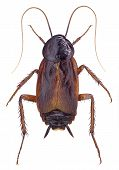 picture of cockroach  - Oriental Cockroach  - JPG