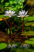 stock photo of water lily  - A Pair of Tropical White Water Lily Flowers (Nymphaeaceae) in Pond with Reflections and Lily Pads.