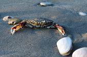 stock photo of exoskeleton  - Sea crab on sand on a beach - JPG