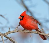 image of cardinal  - Beautiful bright red male Northern Cardinal perched in an Oak tree in winter - JPG