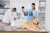 stock photo of animal x-ray  - Veterinarian coworker examining dogs x - JPG