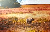 stock photo of grizzly bear  - Grizzly bear in autumn season - JPG