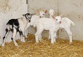 stock photo of saanen  - four young goat kids on the farm - JPG