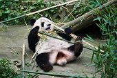 pic of panda bear  - one giant Panda bear eating bamboo roots in Bifengxia base reserve Sichuan China - JPG