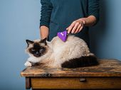 image of grooming  - A young woman is grooming a long haired Birman cat - JPG