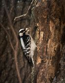 stock photo of woodpecker  - Female Downy Woodpecker clinging onto a tree looking for insects in winter - JPG