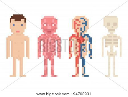 Human Body Anatomy - nude body, muscle, blood circle and sceleton, pixel art illustration
