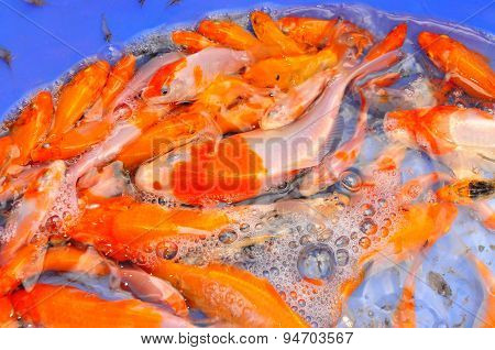 Cu Chi, Vietnam - August 5, 2011: Broodstocks Of Koi Fish In Tank In A Farming Center In Vietnam