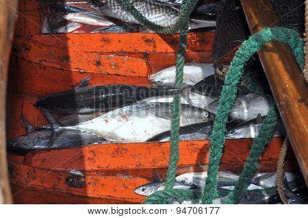 Nha Trang, Vietnam - May 5, 2012: Tuna Fish In The Basement Of The Boat In The Sea Of Nha Trang Bay