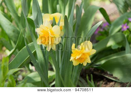 The First Spring Narcissuses