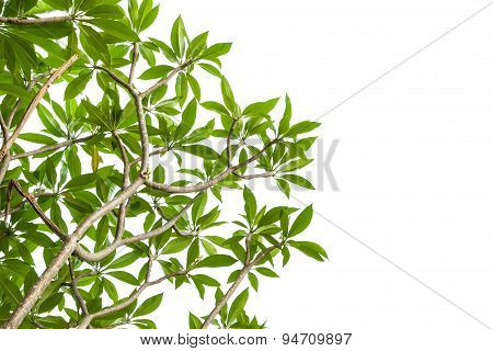 Spa Flower Branch Isolated On White Background, Clipping Path Included