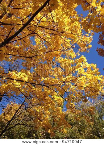 Yellow Leaves And Sky. Autumn