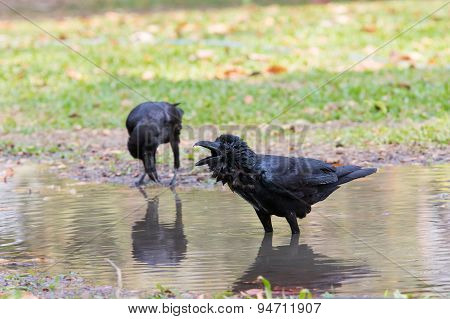 Natural Scene Of Crow Bathing In Field Use For Wild Life In Natural Wilderness