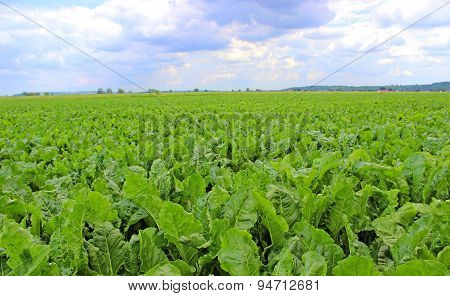 Plantation of sugar beet