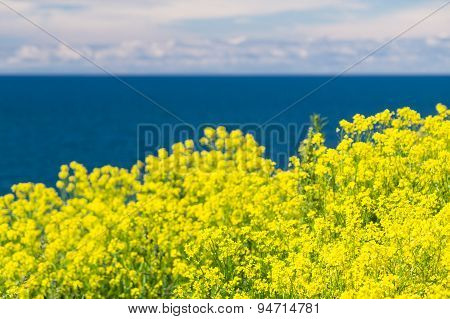 Background Of Blurred Blossoming Canola Flowers Against Blue Sea And Sky