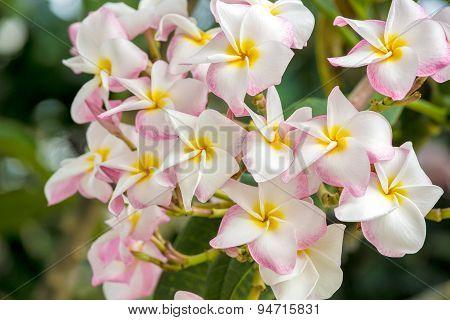 Plumeria or Frangipani is blossom