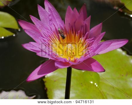 The Pink lotus and Bee so cute
