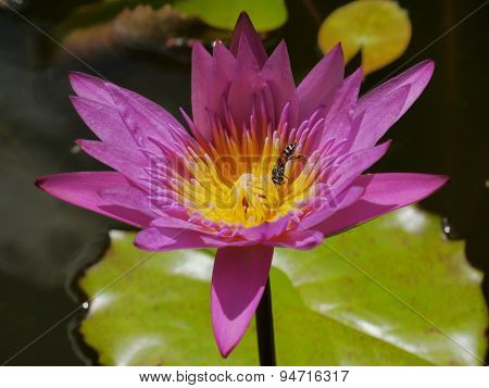 The Pink lotus and bee in water on the nature