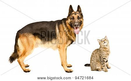 German Shepherd and a curious cat Scottish Straight together