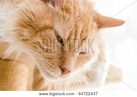 Adult Male Purebred Siberian Cat Sleeps At Home