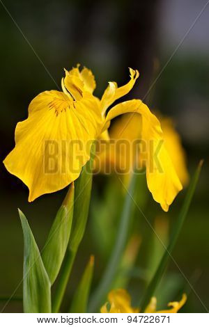 Brightful Yellow Iris On Natural Background