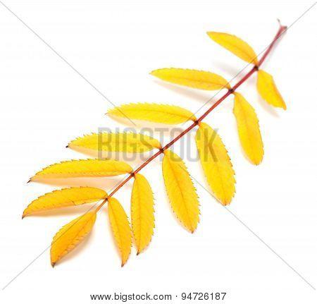 Yellow Autumn Rowan Leaf On White Background