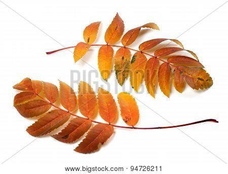 Two Autumnal Rowan Leafs