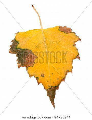 Yellowed Autumn Birch Leaf