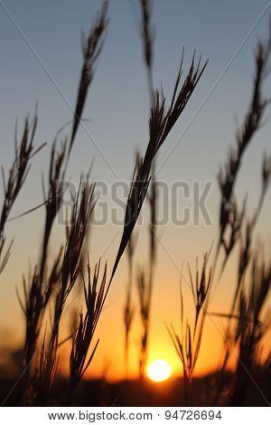 Grasses at sunrise