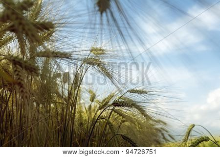 Sunny Barley Field Against The Blue Sky With Clouds