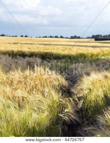 Barley Field And Rural Landscape Against The Cloudy Blue Sky
