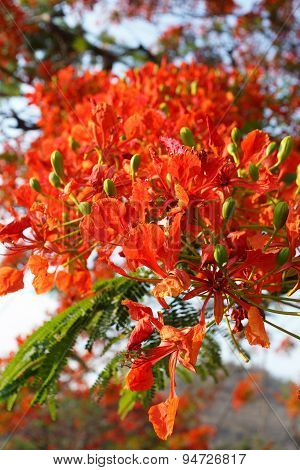 Detail Of Delonix Regia (flamboyant) Tree