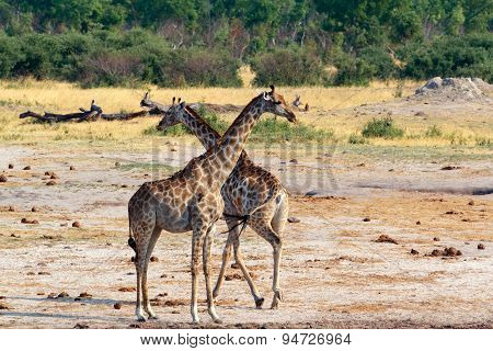 Giraffa Camelopardalis In National Park, Hwankee