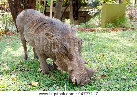 Close Up Portrait Of Wart Hog Male In Campsite