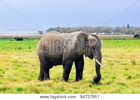 Adult African Elephant In The Swamp
