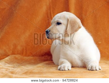The Nice Yellow Labrador Puppy On Orange Background