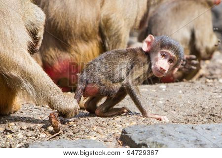 Female Baboon With A Young Baboon