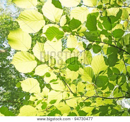 Green Beech Leaves In Backlight