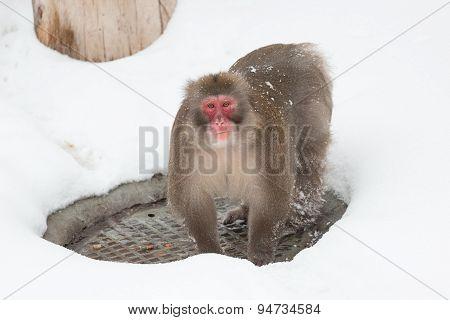 Winter Snow Monkey
