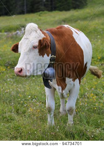 Cow Grazing In The Meadow In The Mountains 2
