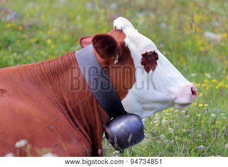 Cow Grazing In The Meadow In The Mountains 4